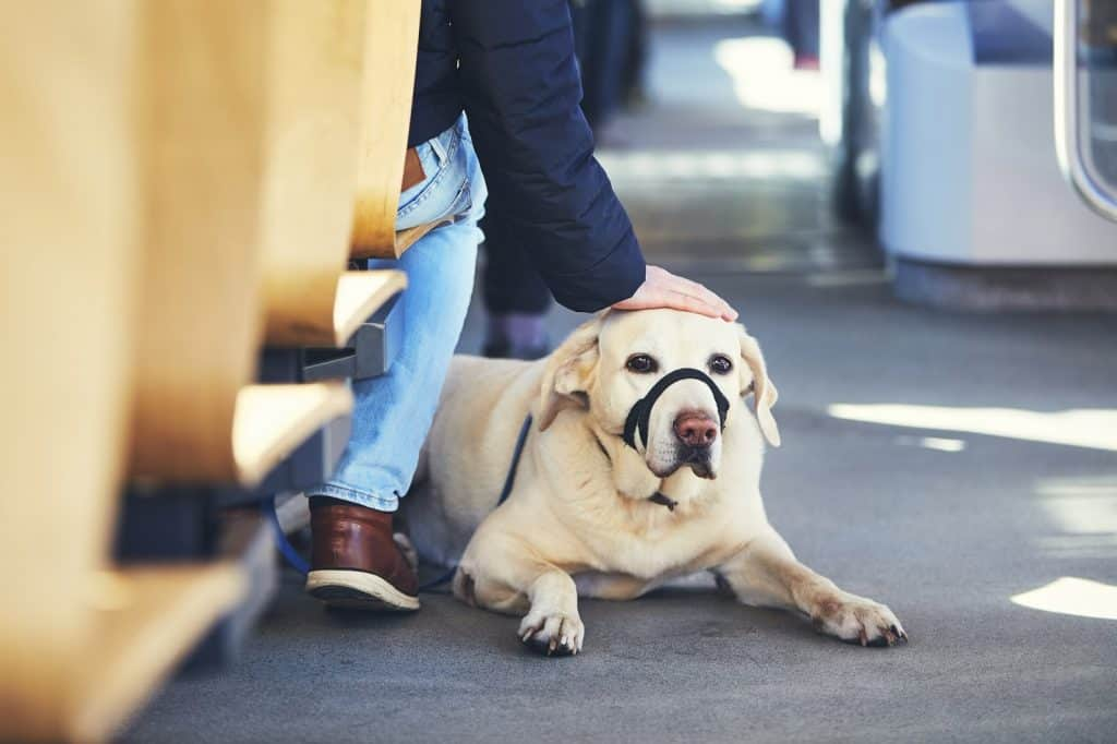 A Labrador retriever lying on the floor of the tram and wearing his muzzle.