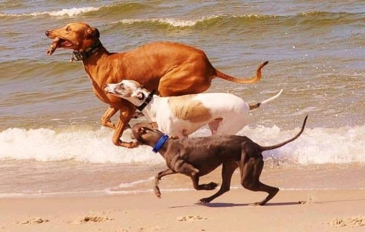 Three sighthounds running on a beach