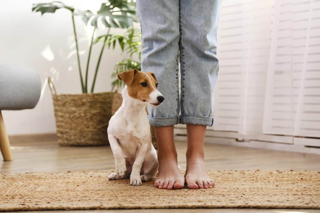 Adorable jack russell terrier puppy at home practising a patient wait at owners feet. | Why do dogs jump up?