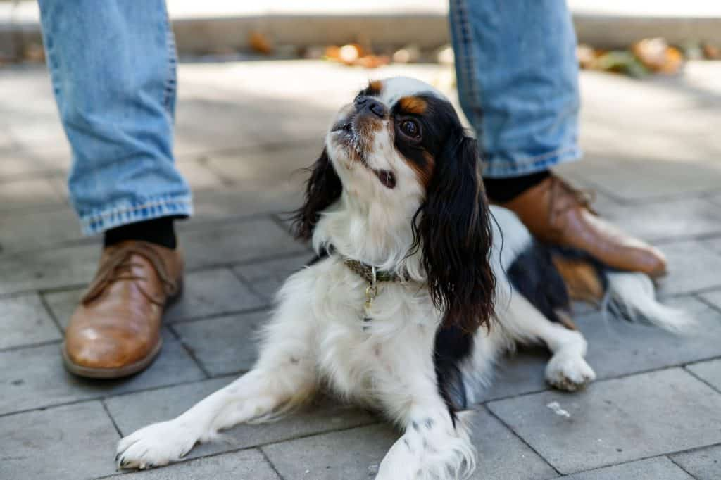 Cavalier King Charles Spaniel waiting patiently at his owners feet | Why do dogs jump up?