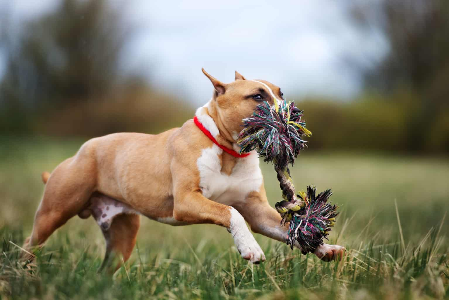 Stunning Pitbull Terrier with a rope toy