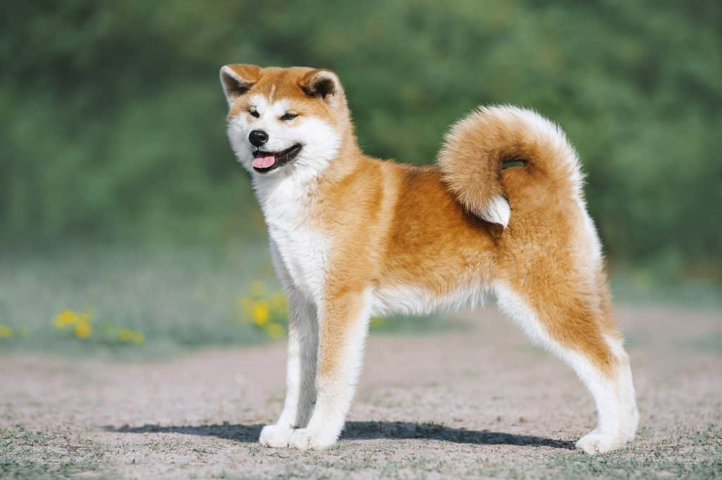 A loyal Japanese Akita was the dog waiting for his owner.
