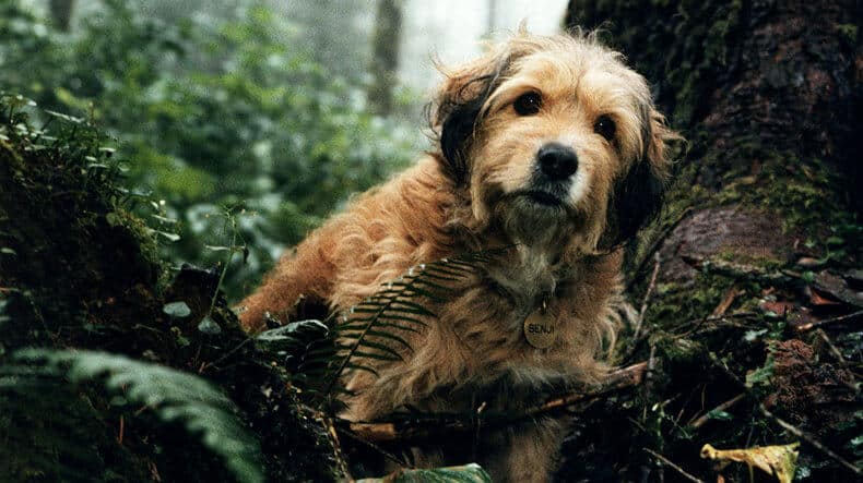 Benji was a mongrel of Border Terrier Mix Breed
