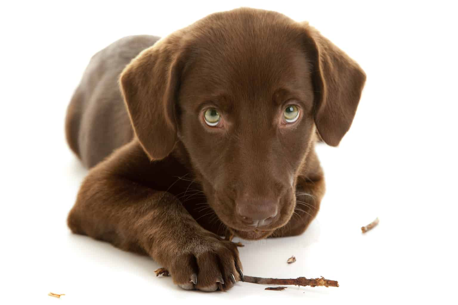 Adorable Chocolate Lab Puppy Chewing Stick