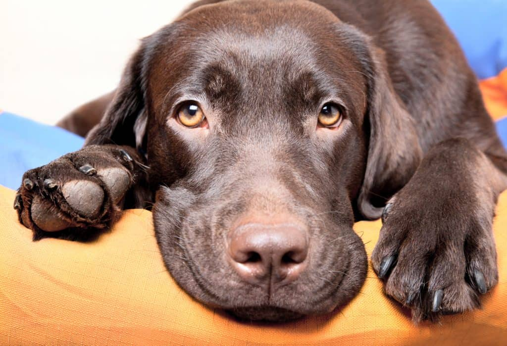 Cute adult chocolate labrador looking into the camera with beautiful brown eyes