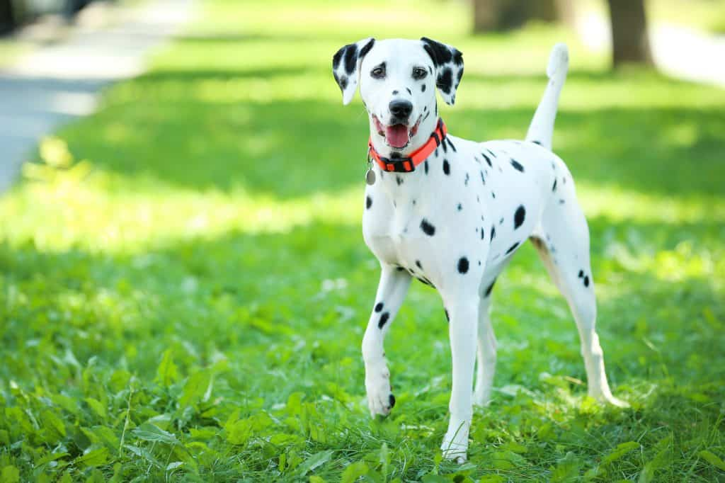 Dalmatian dog playing on the grass in the park