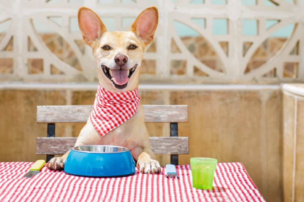 Hungry big eared dog eating at the table