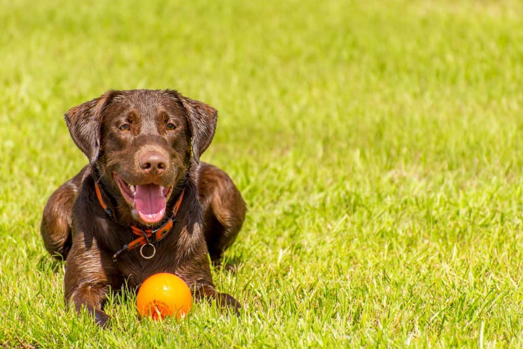 Gorgeous male adult chocolate labrador sitting on green grass
