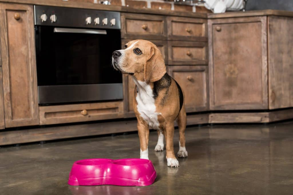 Hungry beagle dog not knowing when his food will be provided.