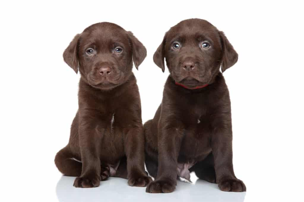 Two chocolate labrador puppies with blue eyes posing on white background