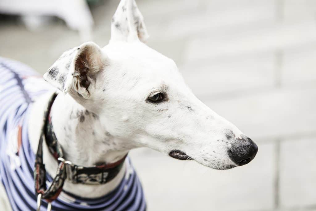 White Greyhound looking off into the distance