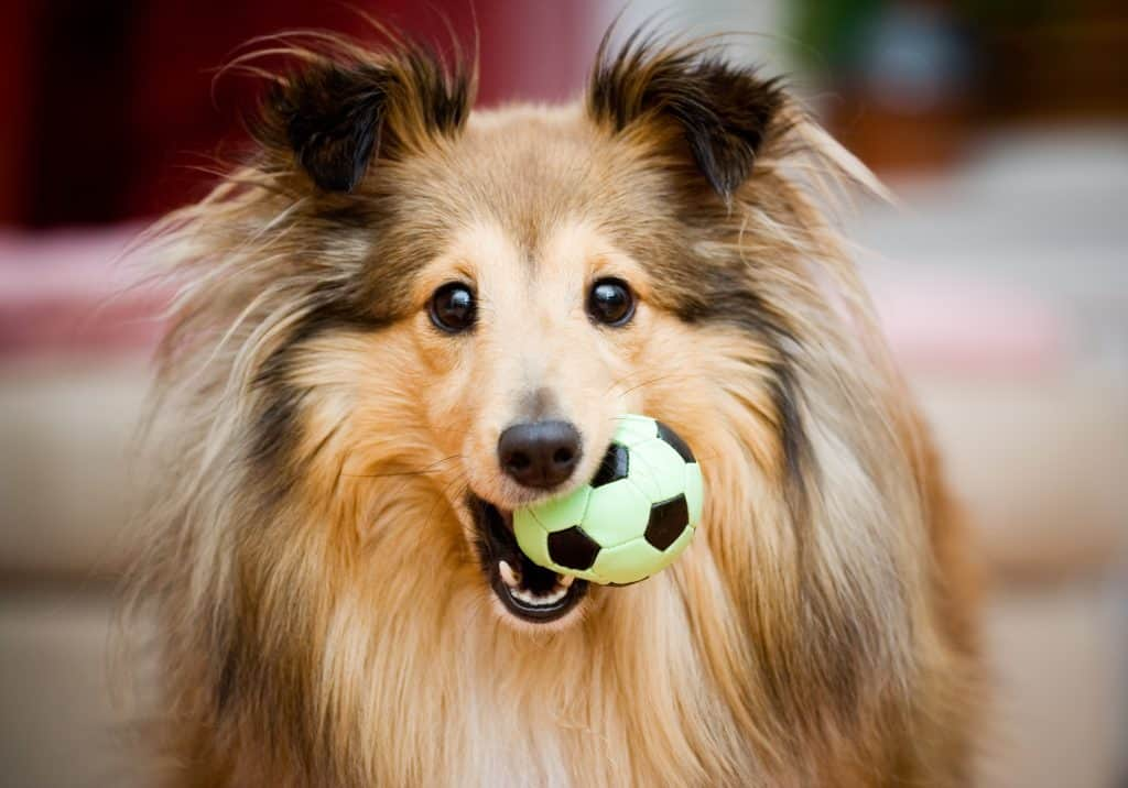 Sheltie breed with a ball in their mouth staring at the camera/owner to play with them.