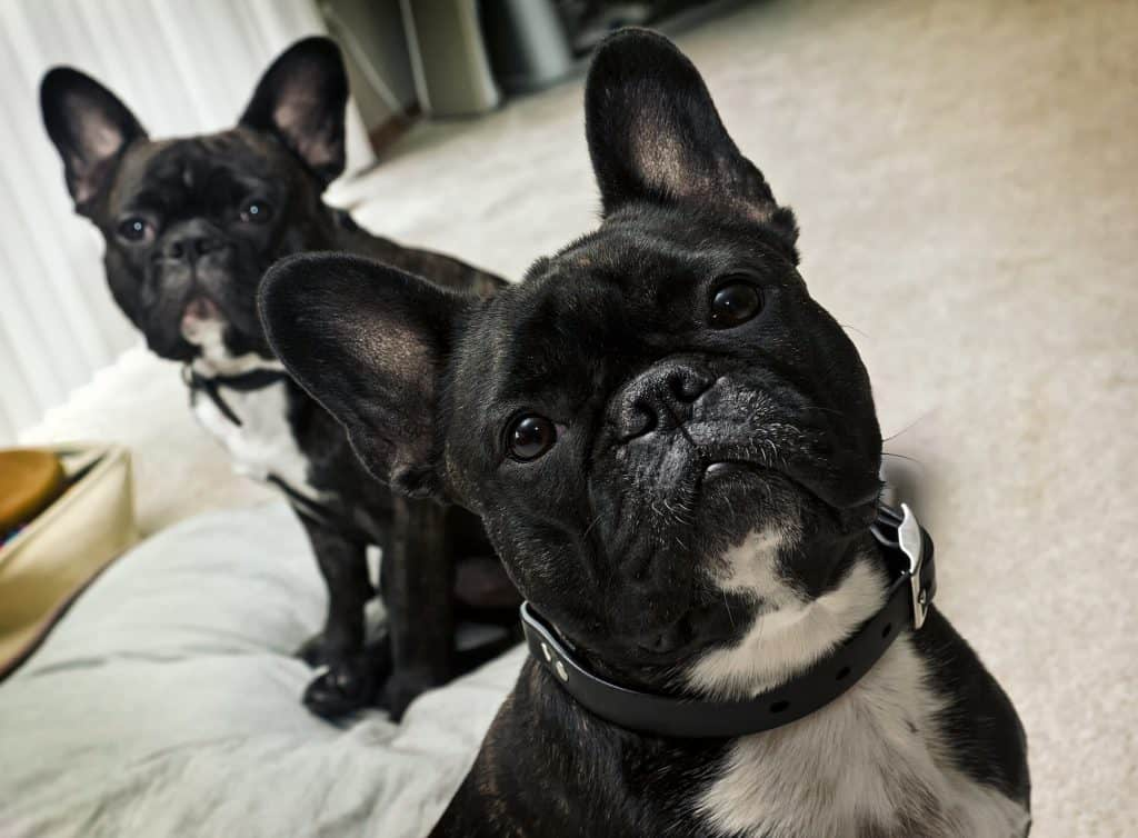 Two black french bulldogs staring at the camera.
