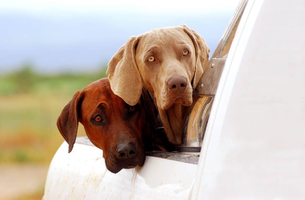 Two dogs staring out of a car at something that has perked their interest.